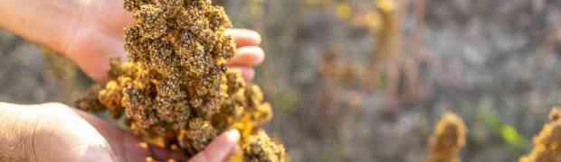 QUIN e la prima filiera della quinoa, italiana e sostenibile