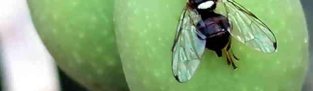 La lotta contro la mosca dell'olivo ricomincia dalla Zeolite Cubana